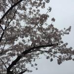 2017 4.8 桜